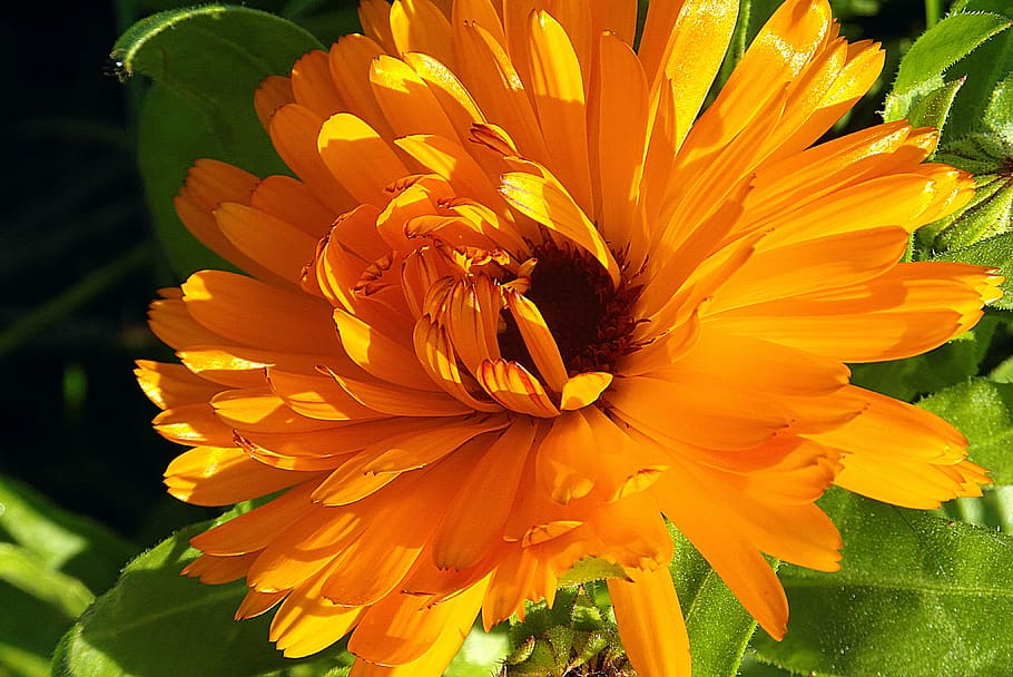 Imagen de la flor de la caléndula